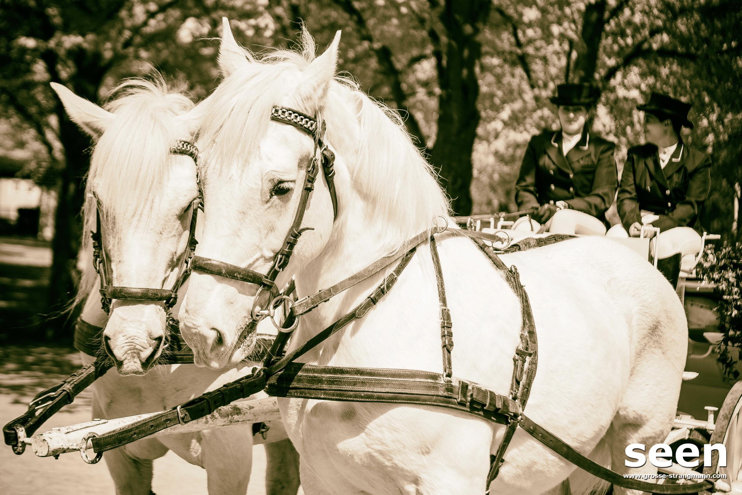 Hochzeitspferde